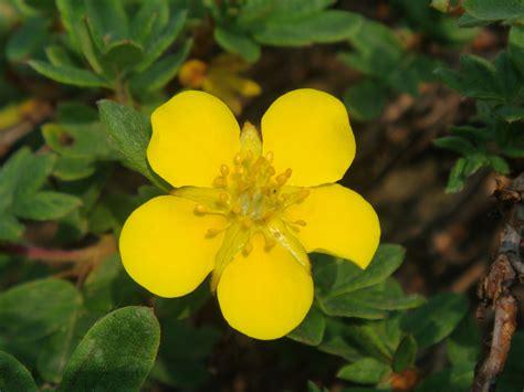 Dasiphora fruticosa (L.) Rydberg subsp. fruticosa