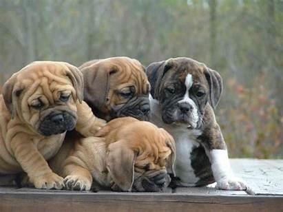 Bulldog Puppy Desktop Wallpapers 4k