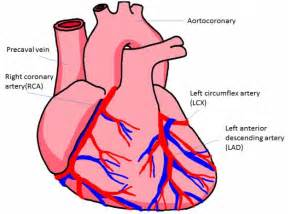 Human Heart Diagram Coronary Arteries