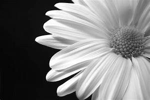 Black and White Daisy by ChrisHalePhotography on Etsy