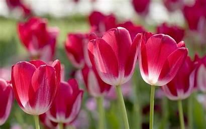Spring Flowers Wallpapers Backgrounds Screensavers Flower Desktop