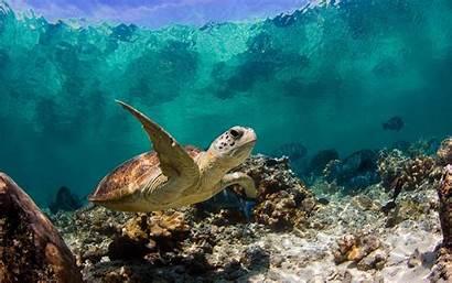 Sea Turtles Turtle Underwater Above Wallpapertag