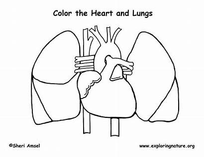 Coloring Anatomy Heart Human Printable Pages Science