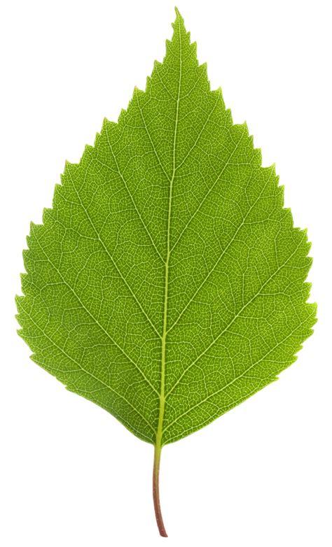 foliage of trees birch tree facts