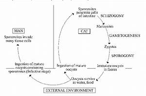 Life Cycle Of Toxoplasma Gondii