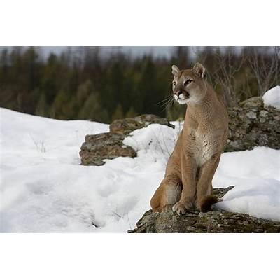 Mountain Lion (Cougar).pgcps mess - Reform Sasscer