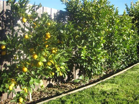 narrow citrus lemon hedge citrus garden dwarf fruit