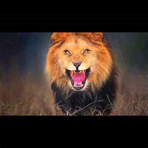 lion attack roar youtube