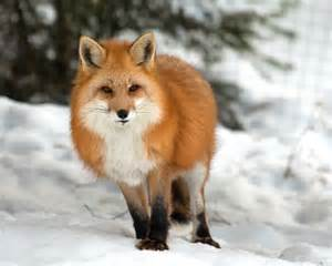 Canadian Red Fox Animals