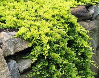 Thuja Golden Smaragd 201 by 17 Best Images About Cupressaceae On Thuja