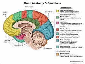 Diagram Of Human Brain And Functions Choice Image - How To ...
