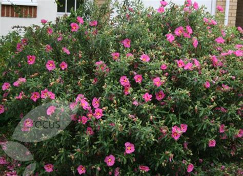 shrubs that bloom all summer 2nd post cistus rock rose wonderful dry tolerant plants many have fragrant foliage and
