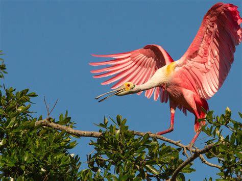 Pink Birds Roseate Spoonbill Tropical Exotic Birds Hd ...