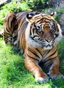 Tigre Siberiana Accovacciantesi Fotografia Stock