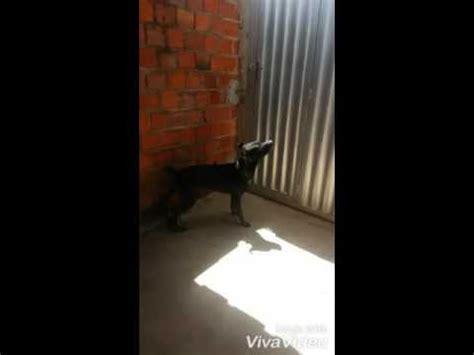cachorro raça pastor alemão mistura com pitbull - YouTube