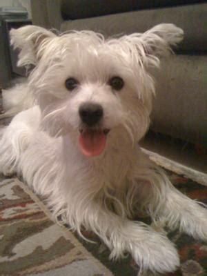 maltese westie dog