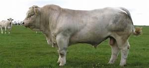 British Charolais - The British Charolais Cattle Society ...