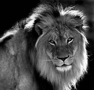 lion black and white | Denver Senior Pics © All Rights ...