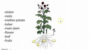 Potato Plants Diagram