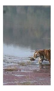 STAR TIGER - Sitara (T28) the dominant male of ...