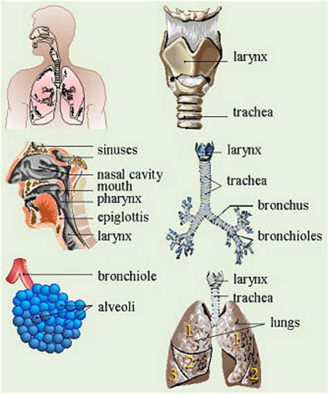 mammal respiratory system and features