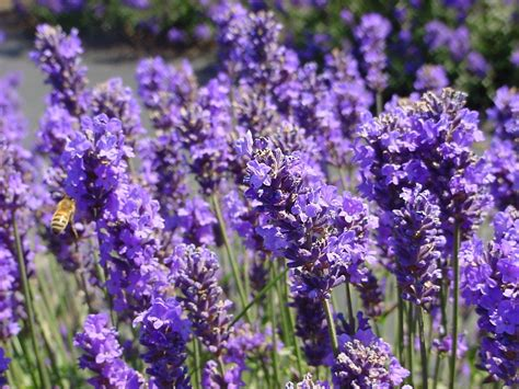 lavender for flies one organic mama trying to prevent pests naturally