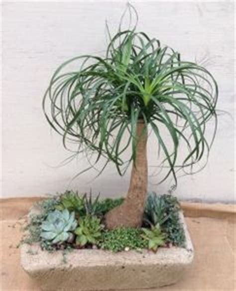 ponytail palms  pinterest palms palm trees  potted