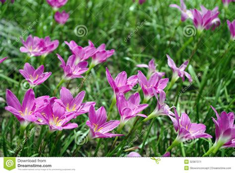 flowering grasses with pink flowers pink flower on green grass stock image image of closeup 32387371