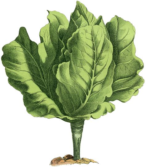 graphics clipart stock lettuce image fresh and lovely the graphics