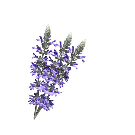 Images White Background by Lavender Flowers White Background Free Stock Photo