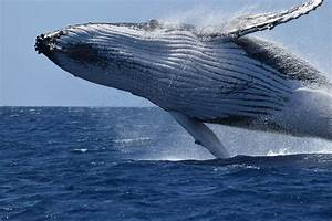 The Big Arrival: The 2016 Whale Watching Season Begins At ...
