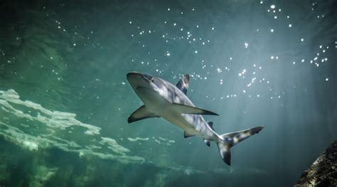 les requins aquarium la rochelle site officiel