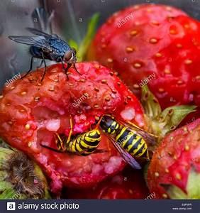Was Essen Wespen : bohrfliegen stockfotos bohrfliegen bilder alamy ~ Frokenaadalensverden.com Haus und Dekorationen