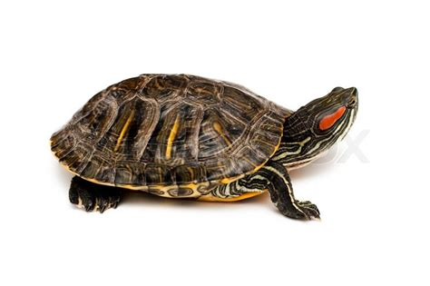 Images Of Turtles An Image Of Eared Turtle On White Background Stock