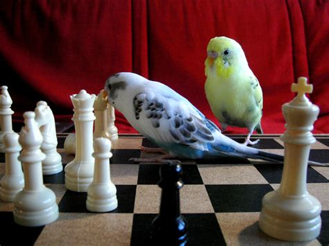 flax  monster play chess  object  budgie chess