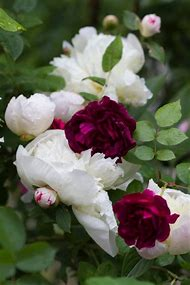 White Peonies and Purple Roses