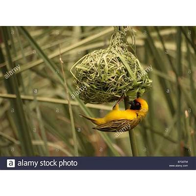 Yellow Weaver Finch Bird Weaving and Building a Nest in