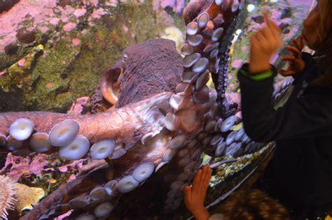 Gambar : makanan laut, fauna, gurita, Cephalopoda, biologi ...