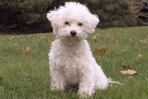 which dogs do not shed or smell dogs that don t shed 23 hypoallergenic breeds