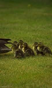 Mom and Baby Duck
