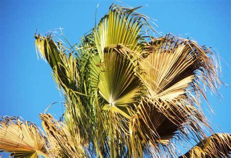 washingtonia  dying discussing palm trees worldwide