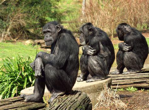 three wise monkeys royalty free stock 6514719