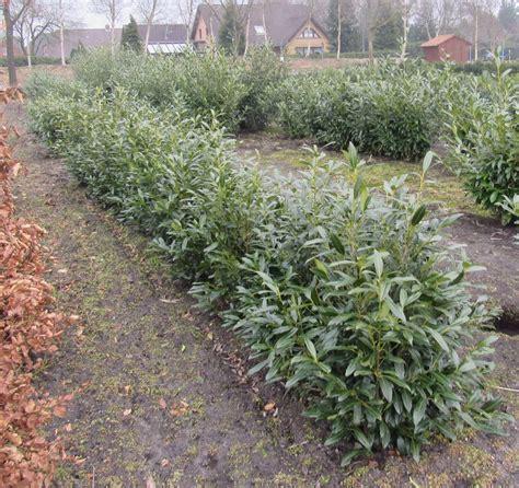 Kirschlorbeer Dicht Bekommen by Kirschlorbeer Prunus Herbergii 120 140cm Hoch 80 90cm