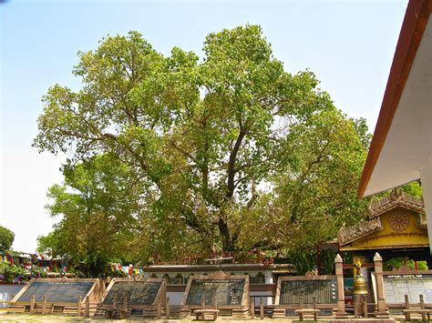 bodhi tree images file bodhi tree related to the bodhi tree sarnath jpg