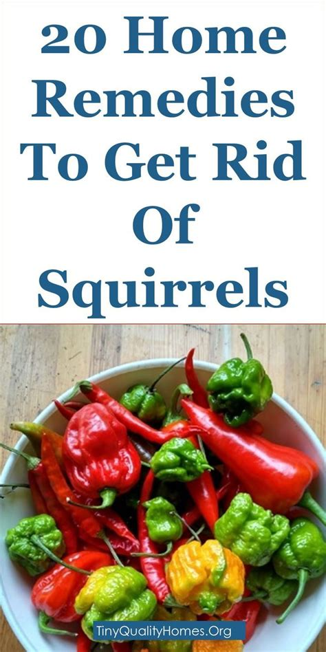repellent home remedy best 25 squirrel repellant ideas on squirrel