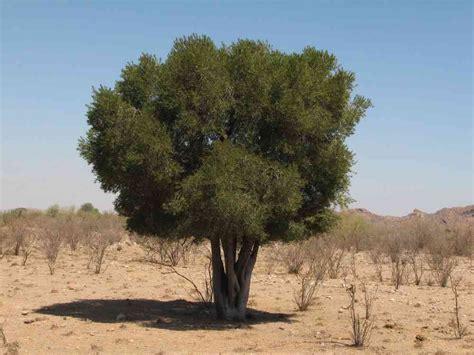 alamos trees forchhammeria watsonii
