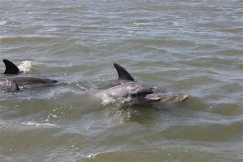 Boat Rs Near Tybee Island by Dolphins Near The Boat Picture Of Captain Mike S Dolphin