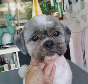 56 Best Images About Shih Tzu Grooming Hairstyles On Pinterest