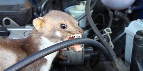 welche autos bevorzugen marder mit diesen tipps sch 252 tzen sie ihr auto vor marderbissen renault welt