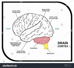 Vector - Human Brain Diagram